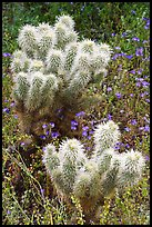 Teddy-bear Cholla cactus and phacelia. Saguaro National Park, Arizona, USA. (color)