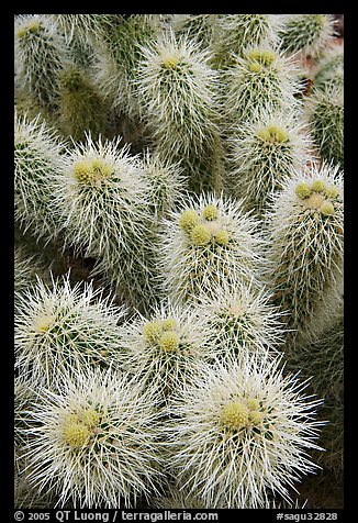 Cholla cactus close-up. Saguaro National Park, Arizona, USA.