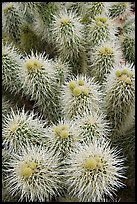Cholla cactus close-up. Saguaro National Park, Arizona, USA. (color)