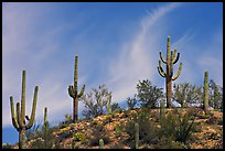 Mature Saguaro cactus (Carnegiea gigantea) on a hill. Saguaro National Park, Arizona, USA.