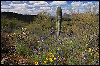 Cactus lupine, and mexican poppies with Panther Peak in the background, afternoon. Saguaro National Park, Arizona, USA.