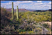 Lush desert with Cactus, mexican poppies, and palo verde near Ez-Kim-In-Zin. Saguaro National Park, Arizona, USA.