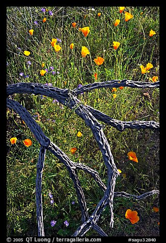 Mexican poppies and cactus squeleton. Saguaro National Park, Arizona, USA.