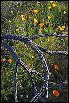 Mexican poppies and cactus squeleton. Saguaro National Park ( color)