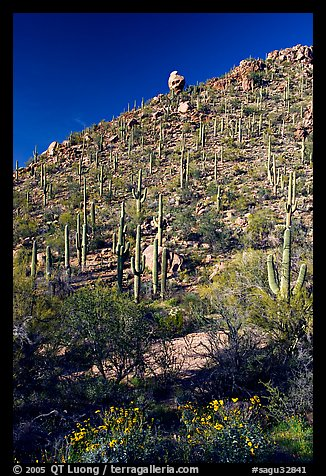 Cactus on hillside in spring, Hugh Norris Trail. Saguaro National Park, Arizona, USA.