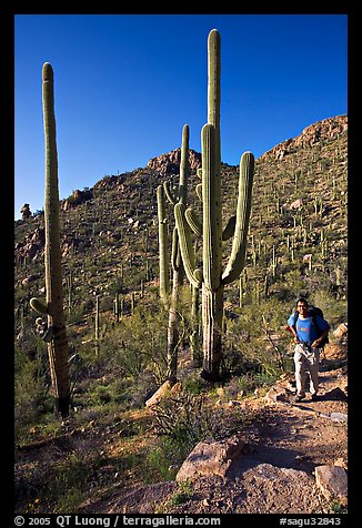 Hiker and saguaro cactus, Hugh Norris Trail. Saguaro National Park (color)