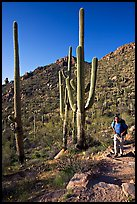 Hiker and saguaro cactus, Hugh Norris Trail. Saguaro National Park, Arizona, USA.