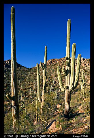 Tall saguaro cactus (scientific name: Carnegiea gigantea), Hugh Norris Trail. Saguaro National Park, Arizona, USA.