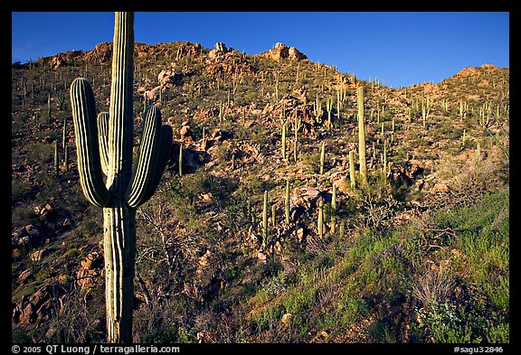 Saguaro cacti on hillside, Hugh Norris Trail, late afternoon. Saguaro National Park, Arizona, USA.