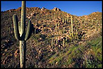 Saguaro cacti on hillside, Hugh Norris Trail, late afternoon. Saguaro National Park, Arizona, USA. (color)
