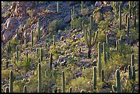 Slope with saguaro cactus forest, Tucson Mountains. Saguaro National Park, Arizona, USA. (color)