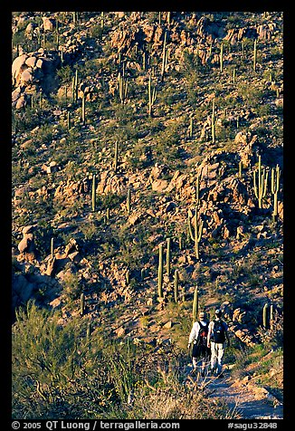 Hikers descending Hugh Norris Trail amongst saguaro cactus, late afternoon. Saguaro National Park, Arizona, USA.