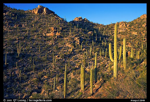 Tall cactus on the slopes of Tucson Mountains, late afternoon. Saguaro National Park (color)