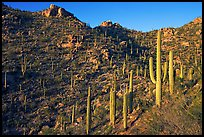 Tall cactus on the slopes of Tucson Mountains, late afternoon. Saguaro National Park, Arizona, USA. (color)