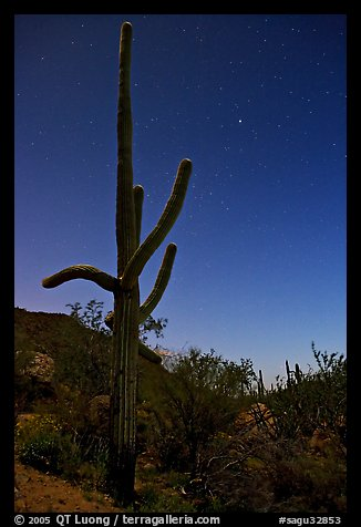 Saguaro cactus at night with stary sky, Tucson Mountains. Saguaro National Park (color)