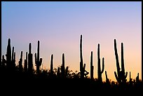 Dense saguaro cactus forest at sunrise near Ez-Kim-In-Zin. Saguaro National Park, Arizona, USA.