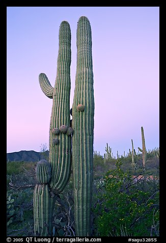 Twin cactus at dawn near Ez-Kim-In-Zin. Saguaro National Park, Arizona, USA.