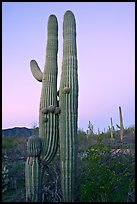 Twin cactus at dawn near Ez-Kim-In-Zin. Saguaro National Park, Arizona, USA. (color)