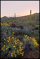Brittlebush and cactus at sunrise near Ez-Kim-In-Zin. Saguaro National Park ( color)