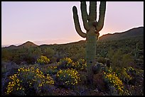 Brittlebush and backlit cactus at sunrise near Ez-Kim-In-Zin. Saguaro National Park, Arizona, USA.