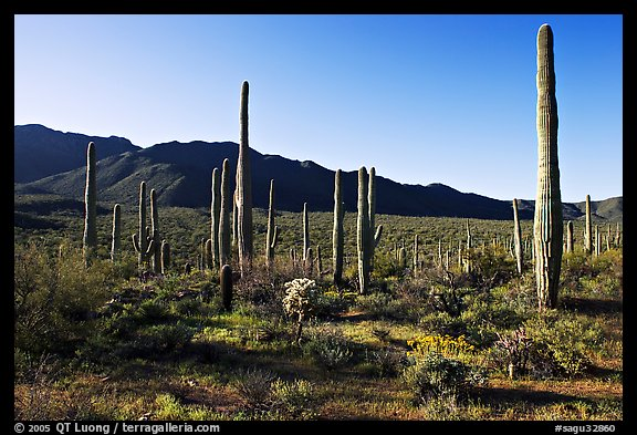Tall cactus and Tucson Mountains, early morning. Saguaro National Park (color)
