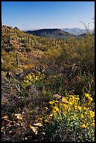 Brittlebush and cactus near Ez-Kim-In-Zin, morning. Saguaro National Park ( color)