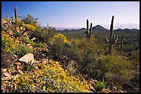 Brittlebush and Saguaro cactus near Ez-Kim-In-Zin, morning. Saguaro National Park, Arizona, USA.
