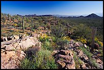 Rocks, flowers and cactus with Panther Peak and Safford Peak in the background. Saguaro National Park, Arizona, USA.