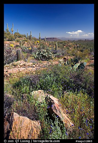 Rocks, flowers and cactus, morning. Saguaro National Park (color)