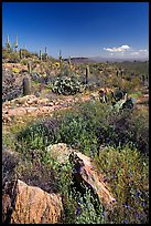 Rocks, flowers and cactus, morning. Saguaro National Park, Arizona, USA.