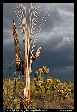 Bare wooden ribs of Saguaro skeleton under dark sky. Saguaro National Park (color)