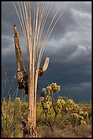 Bare wooden ribs of Saguaro skeleton under dark sky. Saguaro National Park ( color)