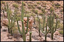 Saguaro cactus with night blooming flowers. Saguaro National Park ( color)