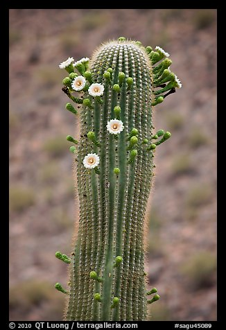 Tip of saguaro arm with pods and blooms. Saguaro National Park (color)