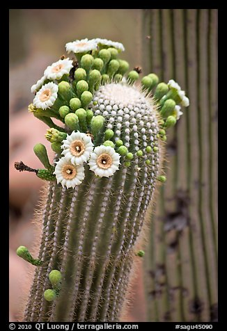 Detail of saguaro arm with flowers. Saguaro National Park (color)