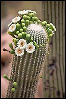 Detail of saguaro arm with flowers. Saguaro National Park, Arizona, USA. (color)