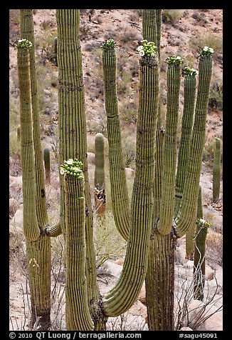 Saguarao arms topped by creamy white flowers. Saguaro National Park, Arizona, USA.