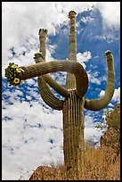 Four-armed saguaro in bloom. Saguaro National Park, Arizona, USA. (color)