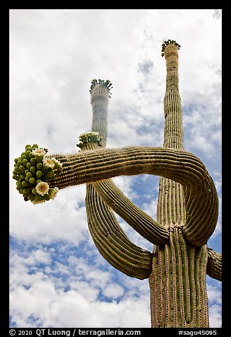 Saguaro with twisted arm and flowers. Saguaro National Park (color)
