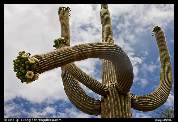 Giant saguaro with blooms on tip of arms. Saguaro National Park (color)