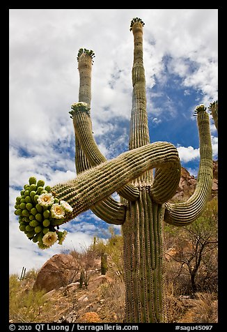 Giant saguaro cactus with flowers on curving arm. Saguaro National Park (color)