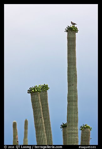 Woodpecker perched on top of saguaro cactus. Saguaro National Park (color)