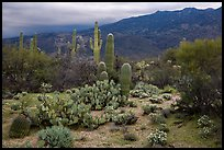 Cactus and cloudy Rincon Mountains, Rincon Mountain District. Saguaro National Park ( color)