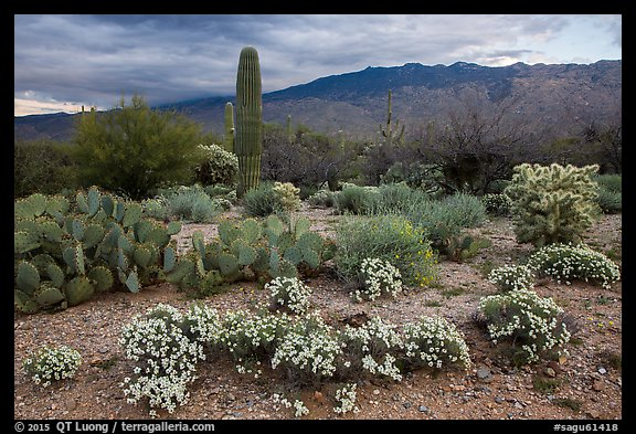 Desert Zinnia flowers and Rincon Mountains. Saguaro National Park (color)