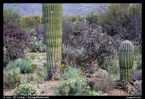 Desert wildflowers and cacti, Rincon Mountain District. Saguaro National Park (color)