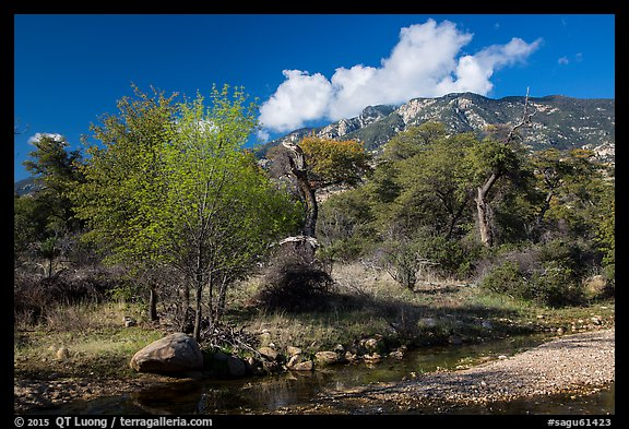 Decidious trees, Miller Creek and Rincon mountains. Saguaro National Park (color)