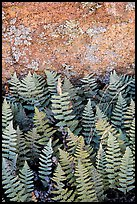 Ferns and lichen on boulder, Rincon Mountain District. Saguaro National Park ( color)
