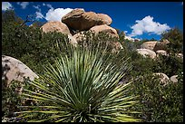Sotol and boulders, Rincon Mountain District. Saguaro National Park ( color)