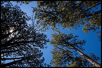 Looking up pine trees, Happy Valley, Rincon Mountain District. Saguaro National Park ( color)