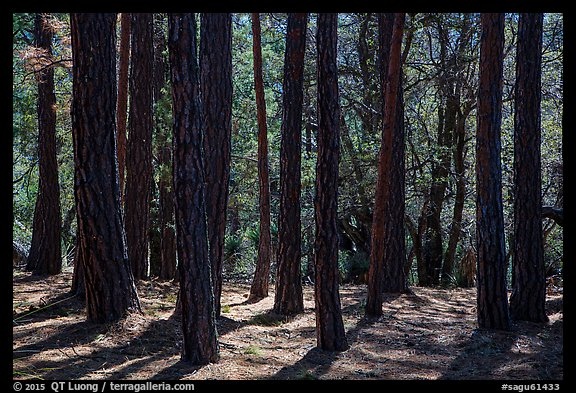 Pine trees, Happy Valley, Rincon Mountain District. Saguaro National Park (color)